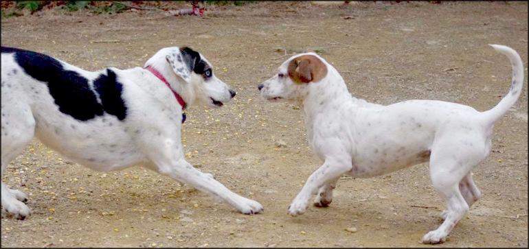dogs playing