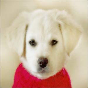 angel pup